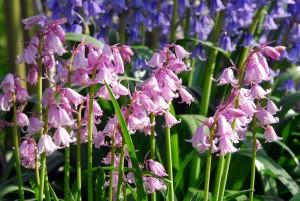 hyacint